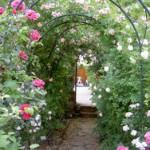 Rose nel giardino dell'abbazia di Valsaintes a Simiane-la-Rotonde